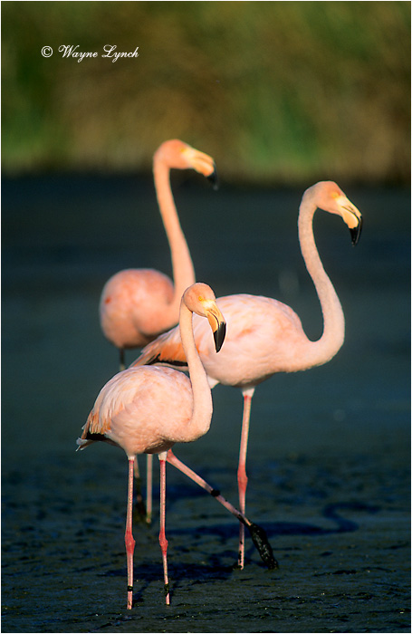 Greater Flamingo 104 by Dr. Wayne Lynch ©