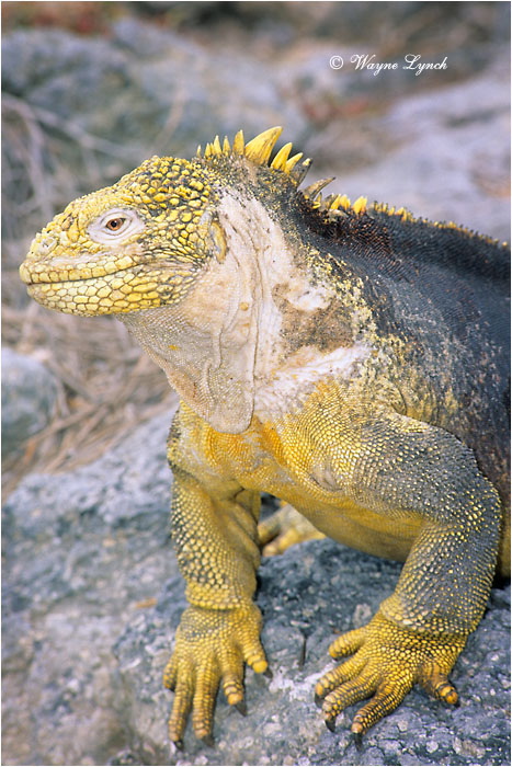 Galapagos Land Iguana 103 by Dr. Wayne Lynch ©