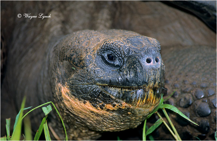 Galapagos Giant Tortoise 103 by Dr. Wayne Lynch ©