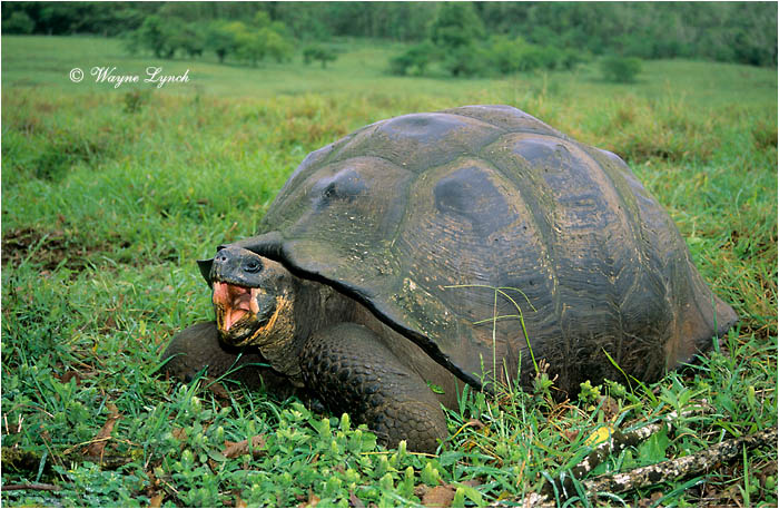 Galapagos Giant Tortoise 104 by Dr. Wayne Lynch ©