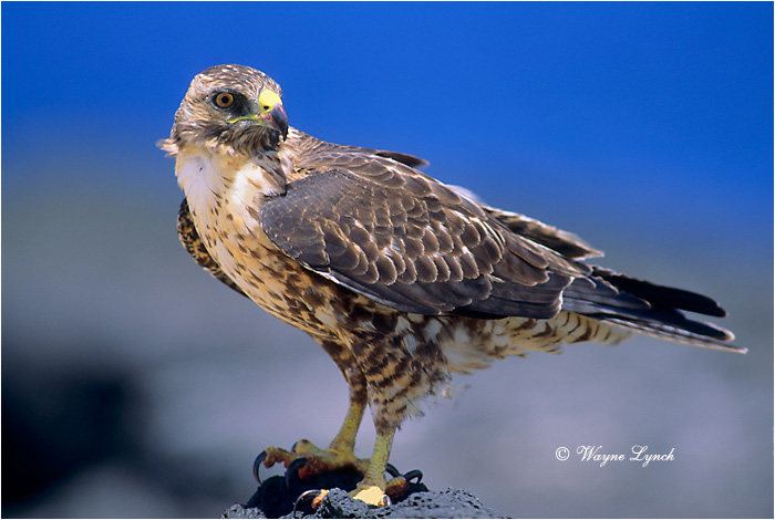 Galapagos Hawk 101 by Dr. Wayne Lynch ©