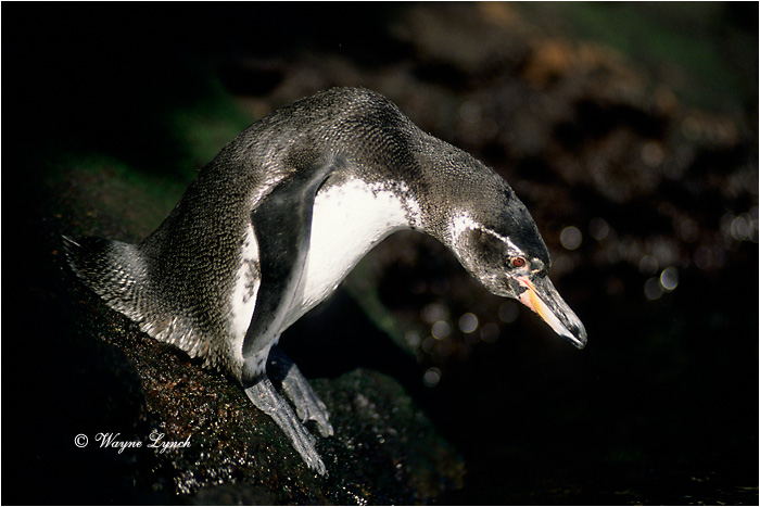 Galapagos Penguin 102 by Dr. Wayne Lynch ©
