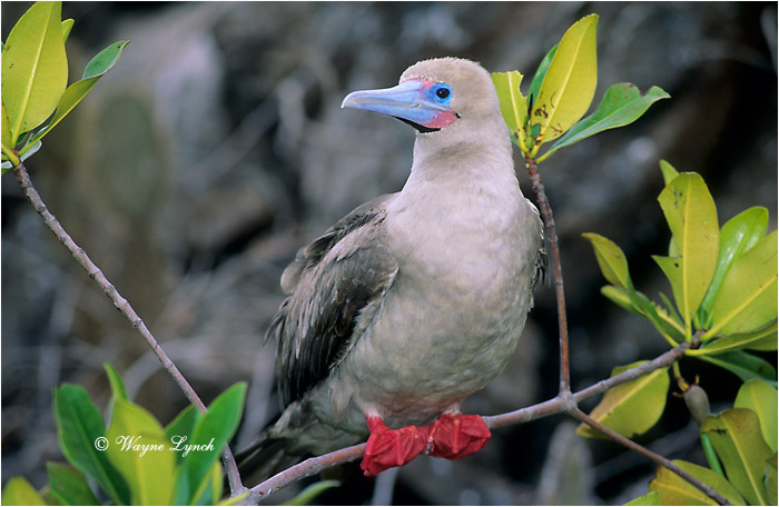 Red-footed Booby 103 by Dr. Wayne Lynch ©