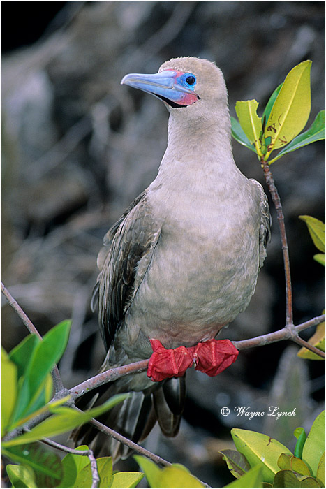 Red-footed Booby 104 by Dr. Wayne Lynch ©