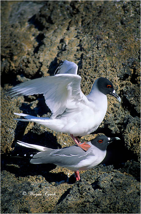 Mating Swallow-tailed Gulls 102 by Dr. Wayne Lynch ©