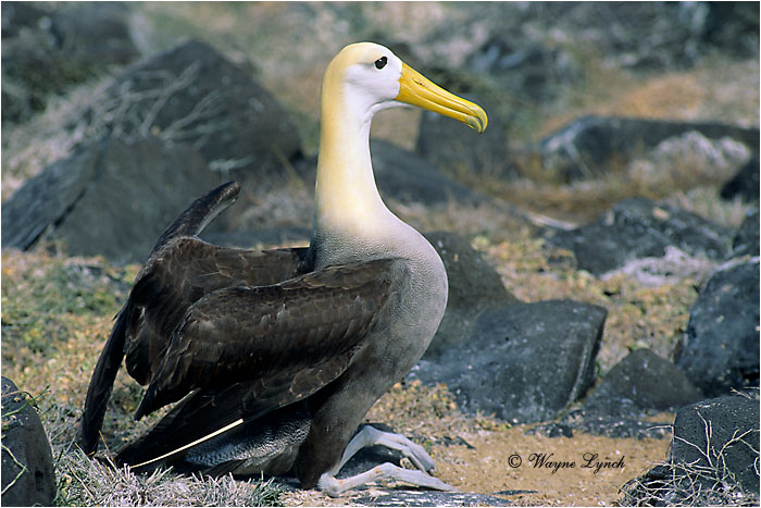 Waved Albatross 101 by Dr. Wayne LYnch