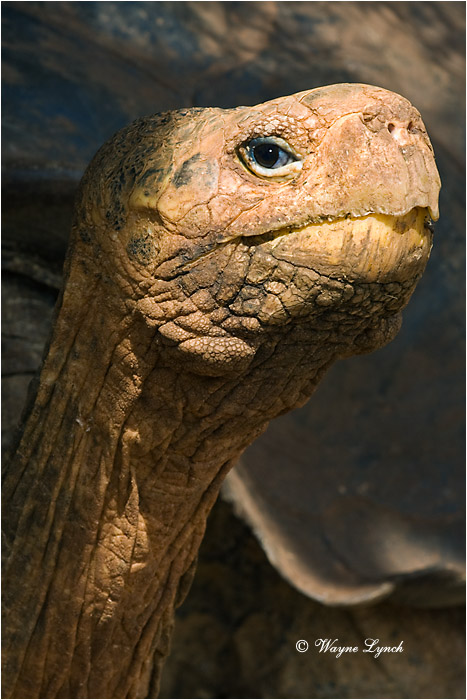 Galapagos Giant Tortoise 110 by Dr. Wayne Lynch ©