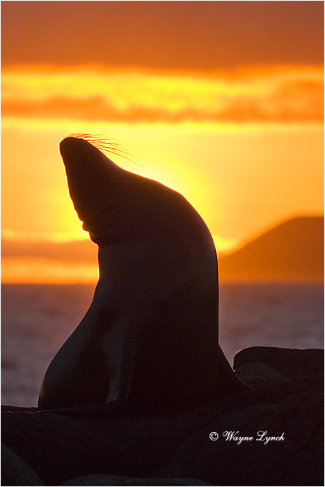 California Sea Lion 109 by Dr. Wayne Lynch ©