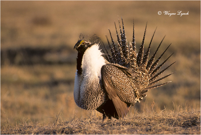 Greater Sage-grouse 104 by Dr. Wayne Lynch ©