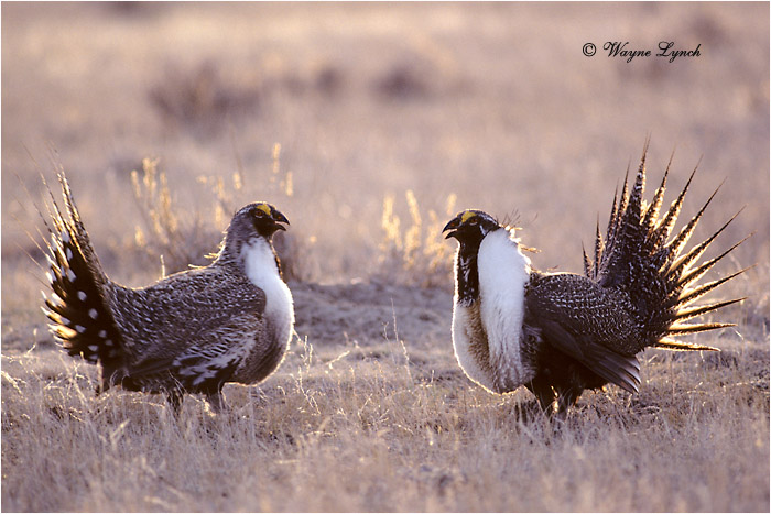 Greater Sage-grouse 108 by Dr. Wayne Lynch ©
