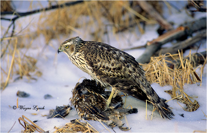 Northern Goshawk with Ruffed Grouse 108 by Dr. Wayne Lynch ©