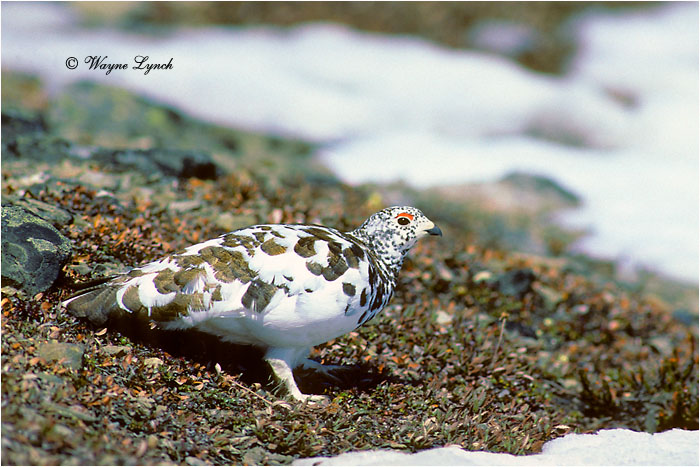 White-tailed Ptarmigan 101 by Dr. Wayne Lynch ©