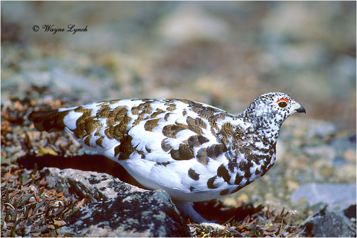 White-tailed Ptarmigan 102 by Dr. Wayne Lynch ©