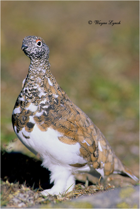 White-tailed Ptarmigan 104 by Dr. Wayne Lynch ©