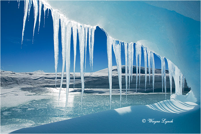 Antarctic Icicles 101 by Dr. Wayne Lynch ©