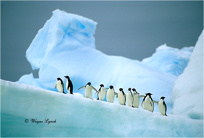 Adelie Penguin 106 by Dr. Wayne Lynch ©