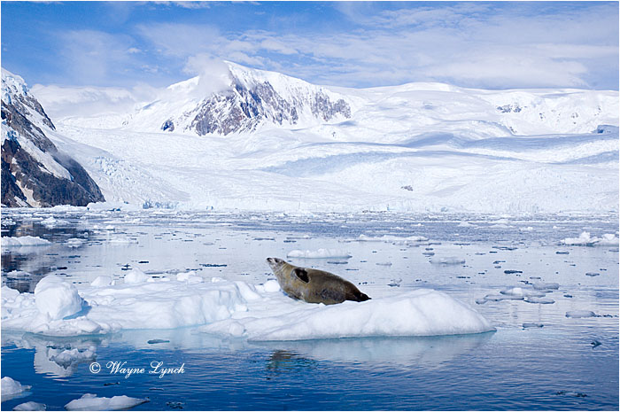 Crabeater Seal 101 by Dr. Wayne Lynch ©