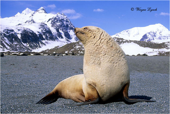 Antarctic Fur Seal 101 by Dr. Wayne Lynch ©