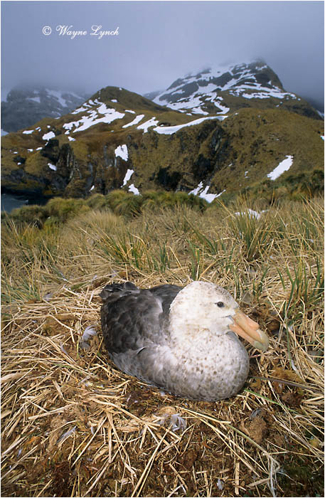 Southern Giant Petrel 101 by Dr. Wayne Lynch ©