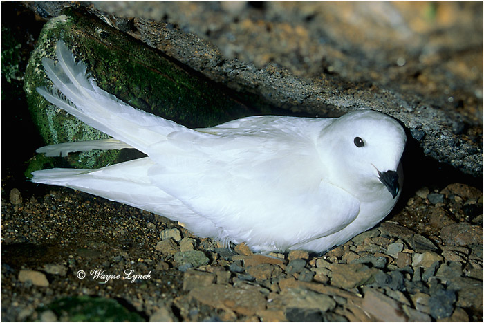 Snow Petrel 101  by Dr. Wayne Lynch ©