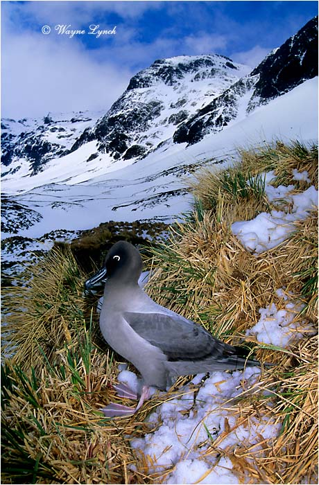 Light-mantled Sooty Albatross 101 by Dr. Wayne Lynch ©