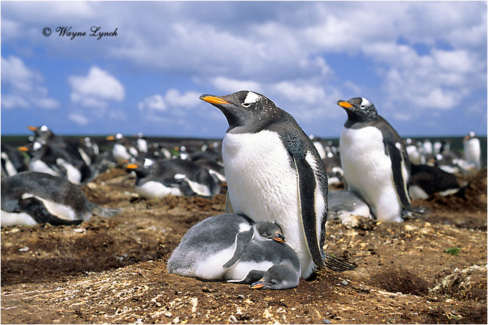 Gentoo Penguin 106  by Dr. Wayne  Lynch ©