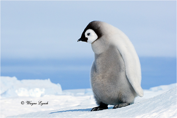 Emperor Penguin 147 by Dr. Wayne Lynch ©