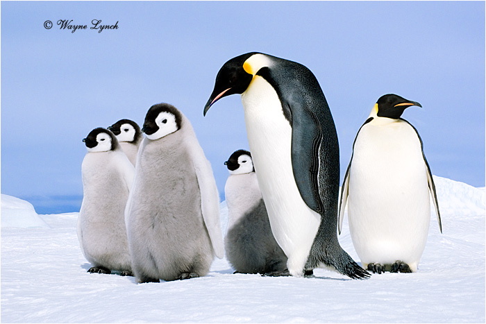 Emperor Penguin 148 by Dr. Wayne Lynch ©
