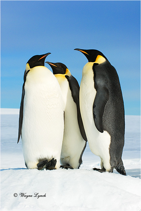 Emperor Penguin 154 by Dr. Wayne Lynch ©