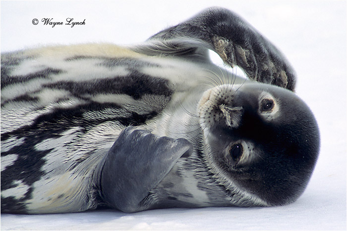 Weddell Seal Pup 101 by Dr. Wayne Lynch ©