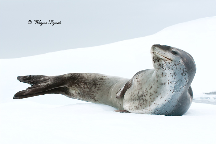 Leopard Seal 107 by Dr. Wayne Lynch ©