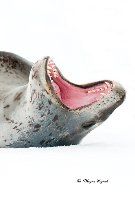 Leopard Seal 109B  by Dr. Wayne Lynch ©