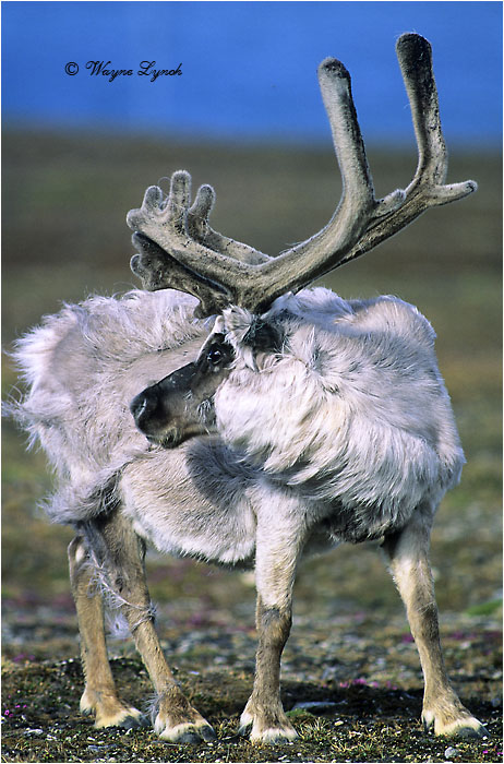 Molting Svalbard Reindeer Bull 101 by Dr. Wayne Lynch ©