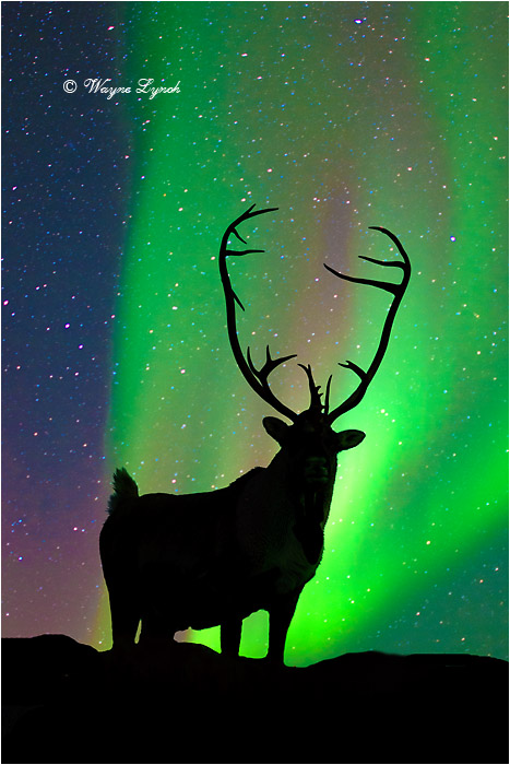 Caribou Bull & the Northern Lights 105 by Dr. Wayne Lynch ©