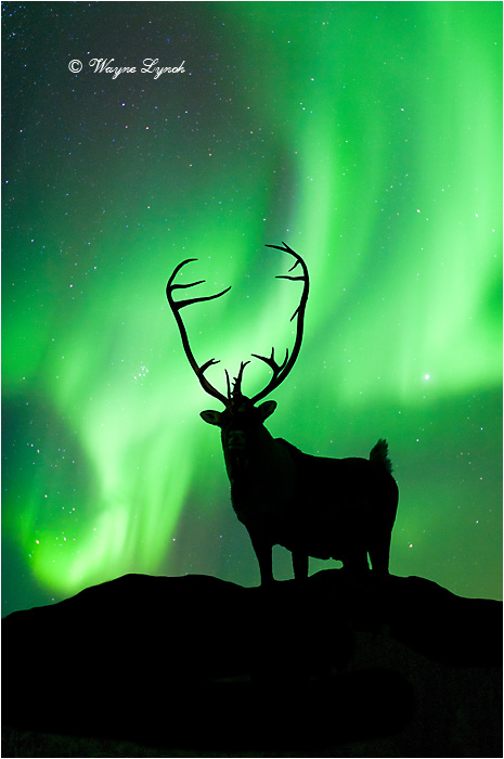 Caribou Bull & the Northern Lights 102 by Dr. Wayne Lynch ©