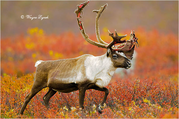Barren Ground Caribou Bull 113 by Dr. Wayne Lynch ©