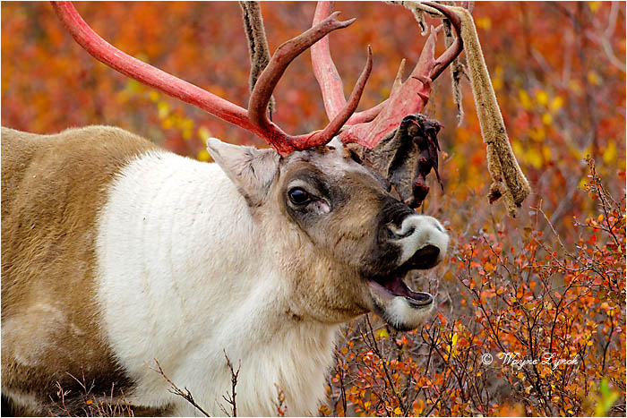 Caribou Bull Eating Shed Antler Velvet 124  by Dr. Wayne Lynch ©