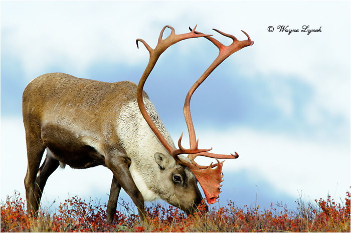 Barrenground Caribou Bull 119  by Dr. Wayne Lynch ©