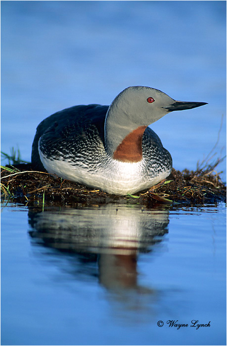 Red throated Loon 101 by Wayne Lynch ©