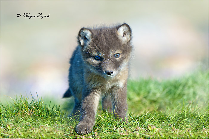 Arctic fox pup 132 by Dr. Wayne Lynch ©