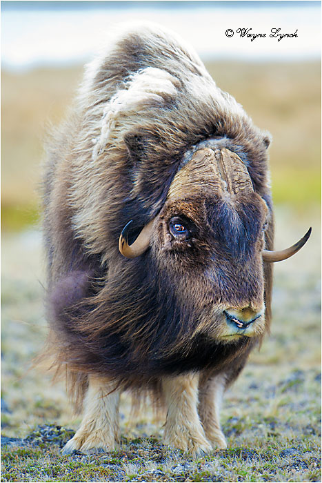 Muskoxen Bull 147 by Dr. Wayne Lynch ©
