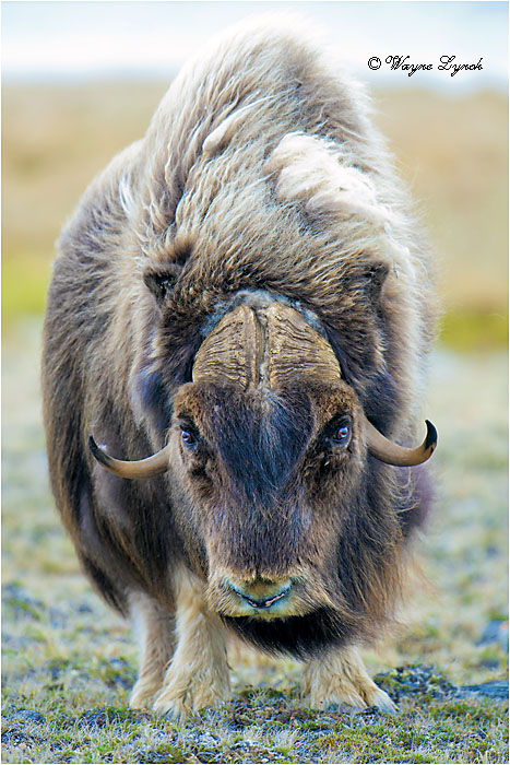 Muskoxen Bull 146 by Dr. Wayne Lynch ©