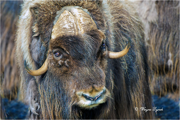 Muskoxen Bull 150 by Dr. Wayne Lynch ©