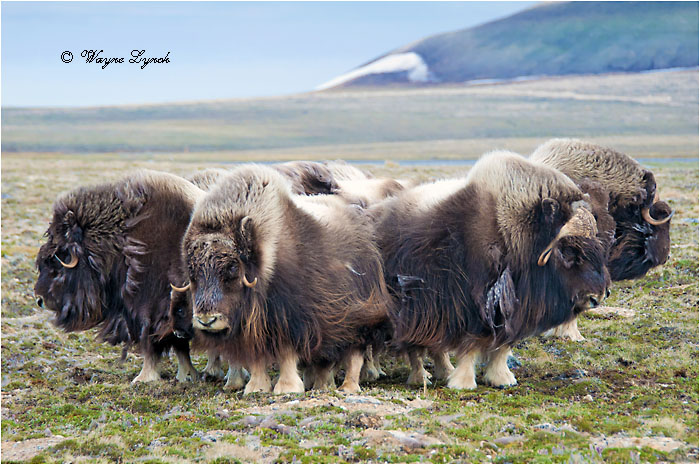 Muskoxen Herd Defense Formation 151 by Dr. Wayne Lynch ©