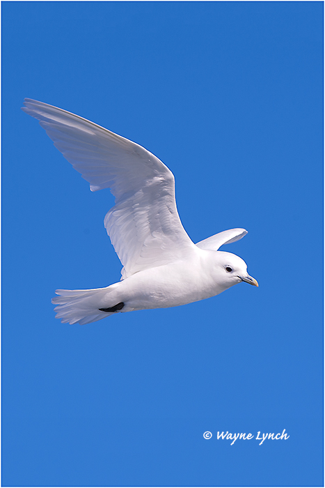 Ivory Gull (Endangered Species) 117  by Dr. Wayne Lynch ©