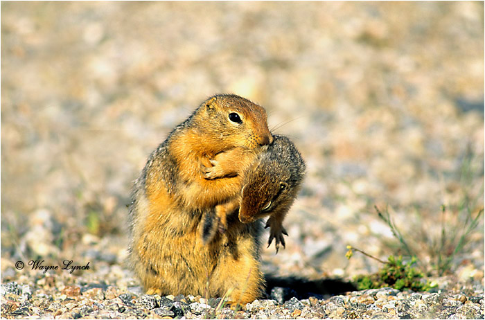 Arctic Ground Squirrel 102 by Wayne Lynch ©