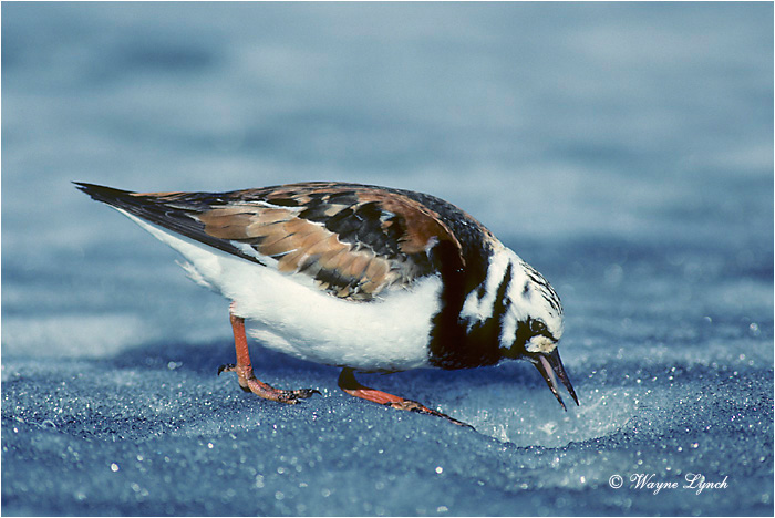 Ruddy Turnstone 101 by Wayne Lynch ©