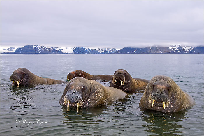 Atlantic Walruses 111 by Dr. Wayne Lynch ©