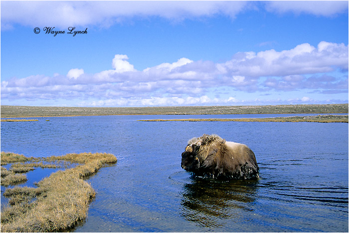 Muskox 112 by Dr. Wayne Lynch ©