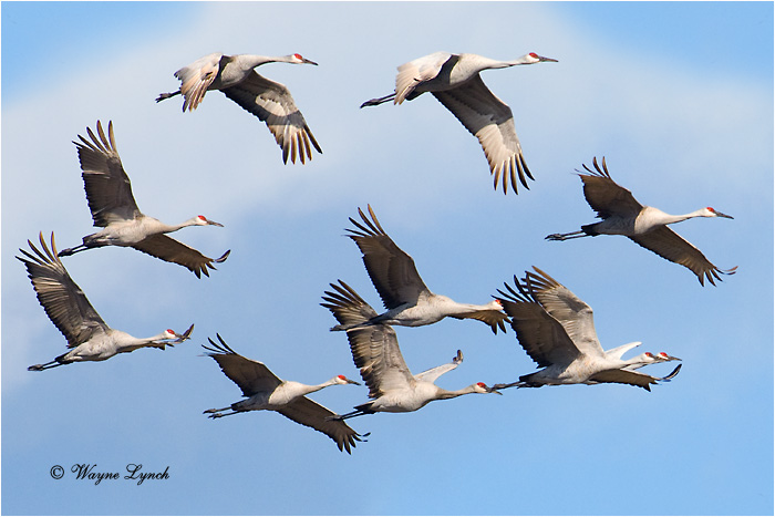 Sandhill Cranes 104 by Dr. Wayne Lynch ©